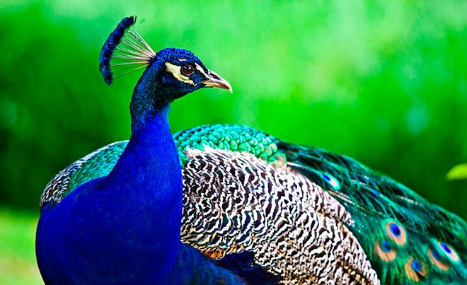 Топ - 20 интересных фактов о павлинах