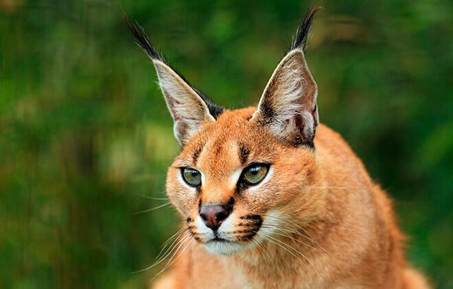 засады. Самцы сервалов могут спариваться с домашними кошками, создавая гибридные породы. Каракал или степная рысь