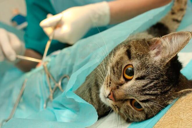 Виды стерилизации кошек