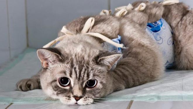 Уход за кошкой после операции по удалению матки