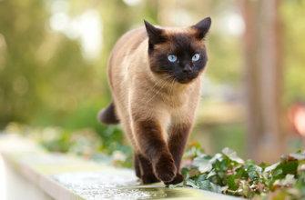 Порода тайских кошек