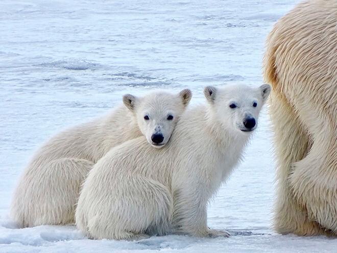 Что едятбелые медведи