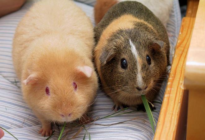 Нужен ли свинке сожитель?