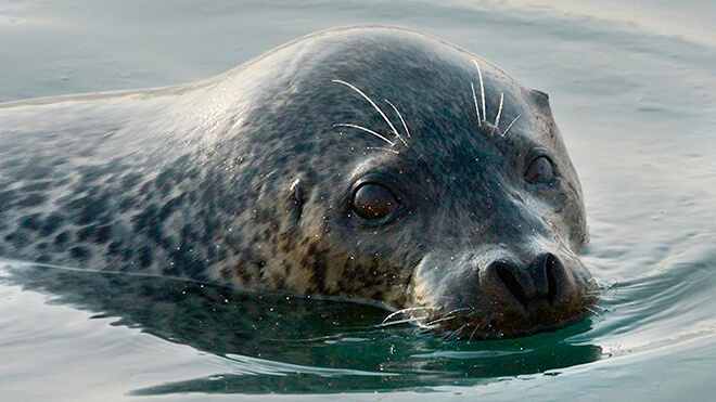 Описание тюленя