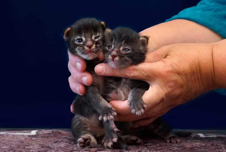 Как кормить котенка породы мейн-кун?