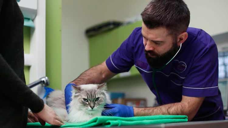 Развитие микоплазмоза у кошек