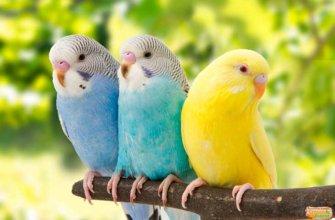 Продолжительность жизни волнистых попугаев в природе