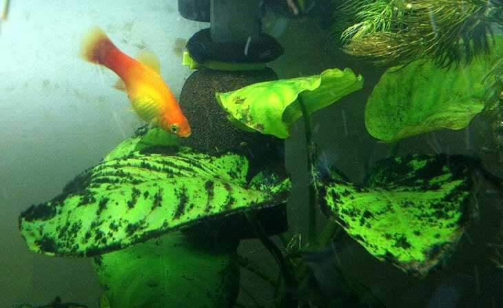 Растение черная борода в аквариуме