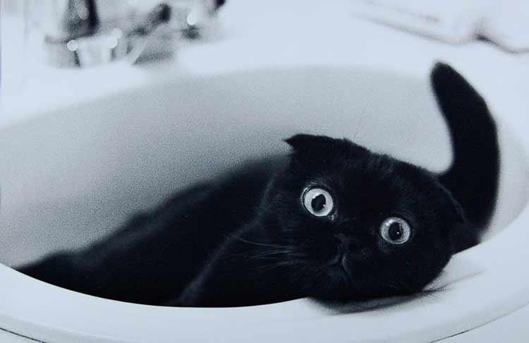 Характер черных шотландских кошек