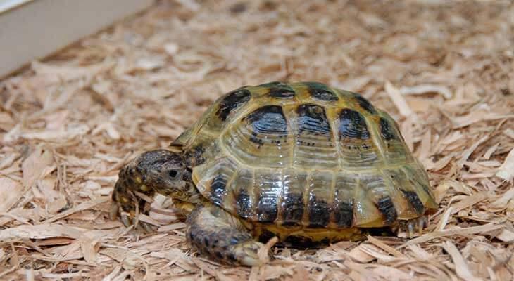 Сколько живет среднеазиатская черепаха