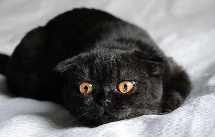 Цвет глаз черных кошек