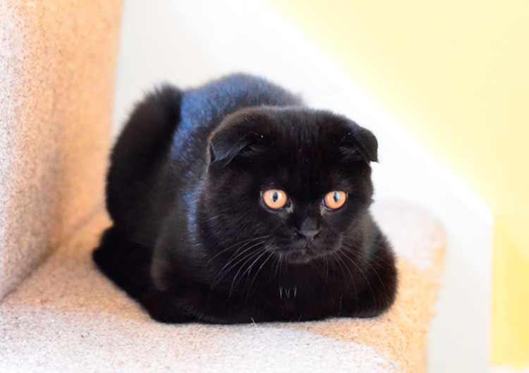 Уход за шотландскими котами черного окраса