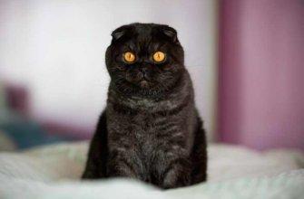 Шотландская кошка черная