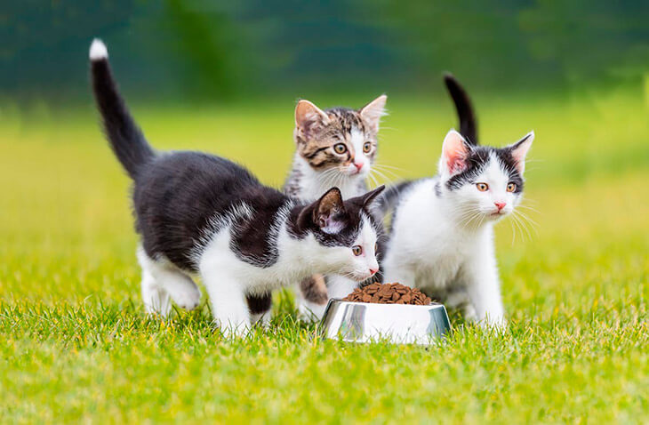 Как и чем правильно кормить котят и кошек?