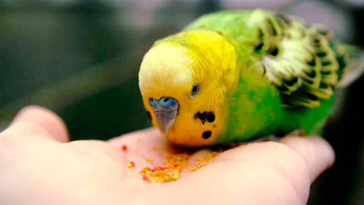 Важные моменты в приручении волнистых попугаев