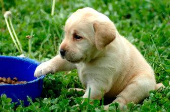 Корм для лабрадора щенка
