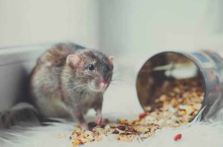 Как содержать домашних декоративных крыс