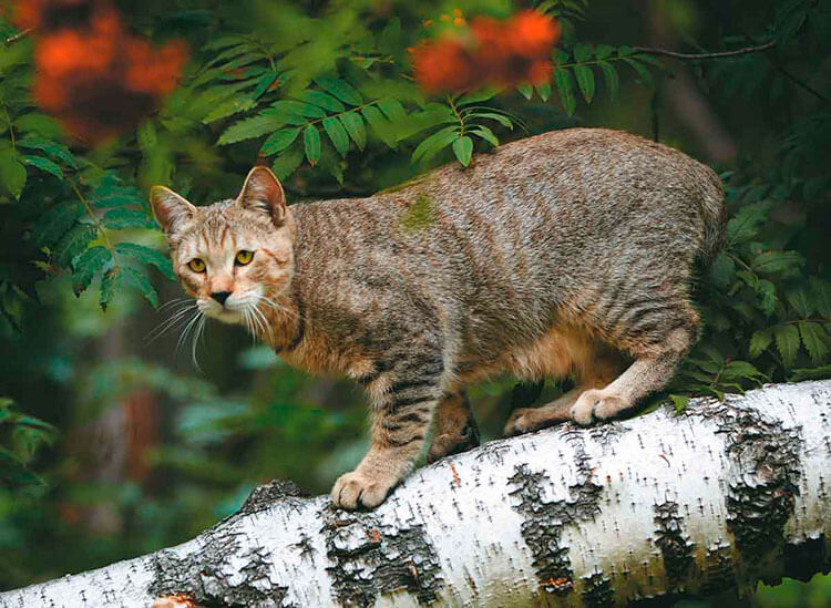 Короткохвостый эльф — кошка под рысь?