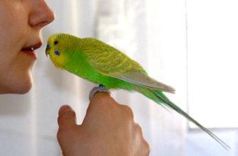 Приручение волнистых попугаев