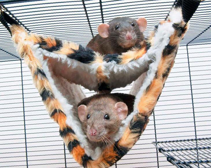 Выбор и обустройство клетки для домашних крыс