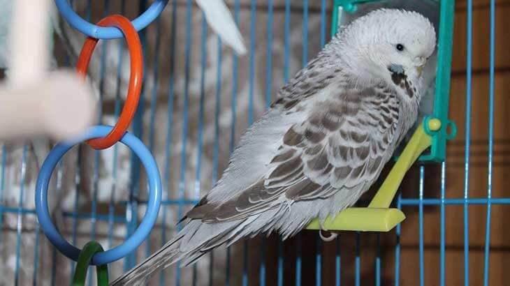 До какого возраста доживают домашние попугаи