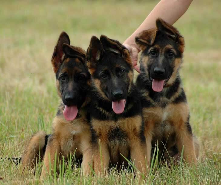 Почему у щенка не стоят уши?