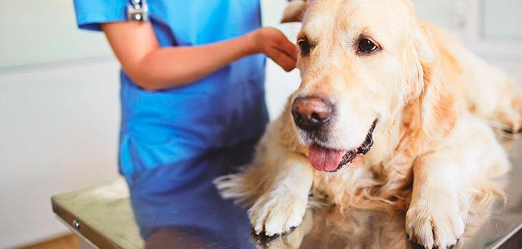 Заболевание лептоспироз у собак