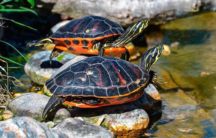 Сколько живет водная черепаха