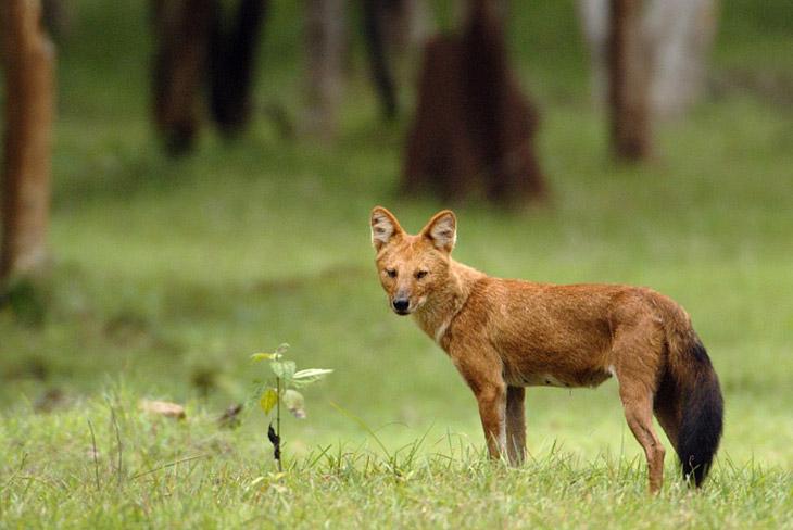 Описание красного волка