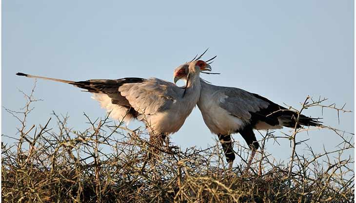 Самец и самка птицы-секретаря: основные отличия