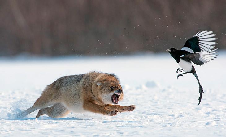 Волк охотиться