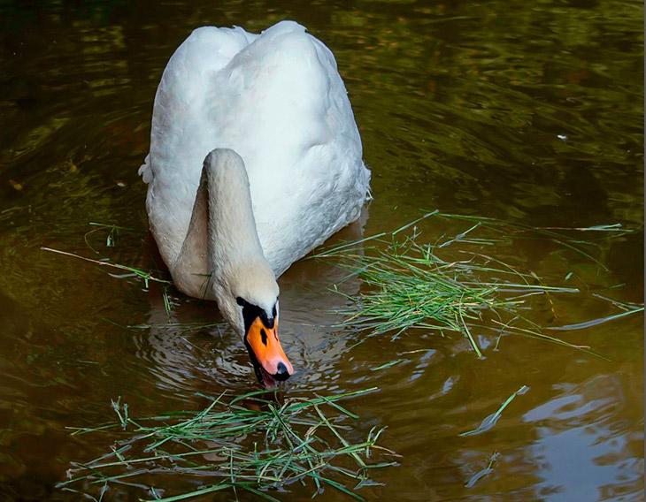 Чем питаются лебеди в дикой природе?