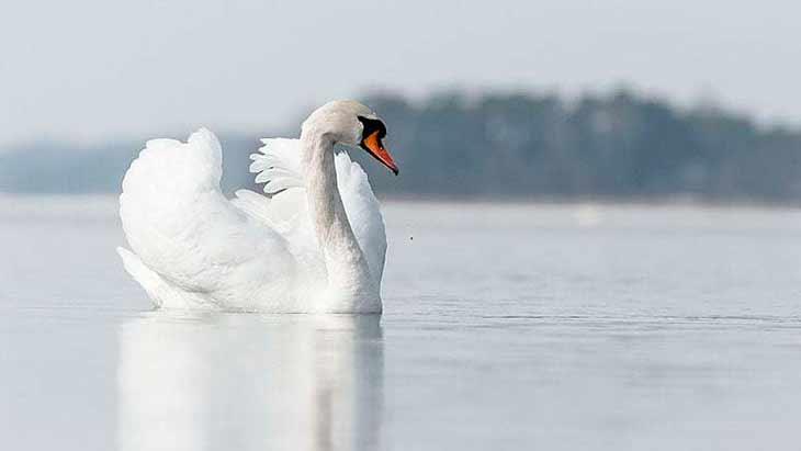 Виды лебедей