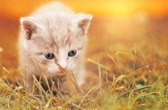 В каком возрасте котенок начинает ходить?