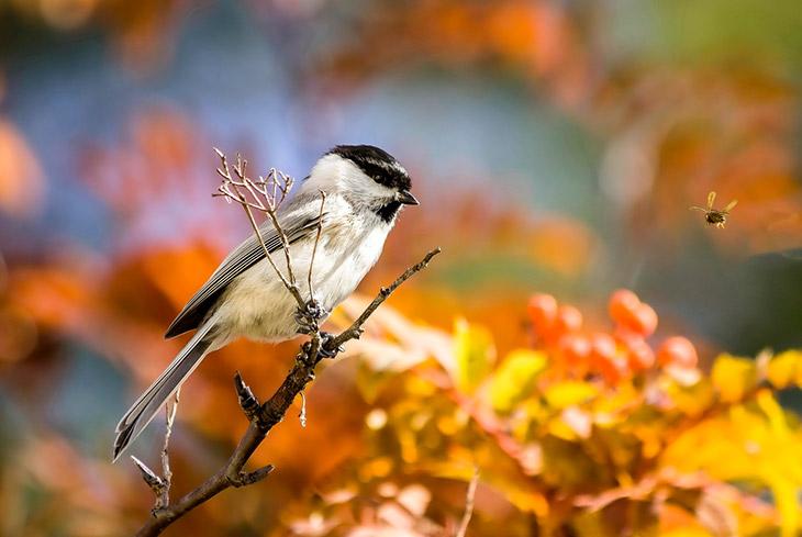 911 фото птицы буроголовая гаичка