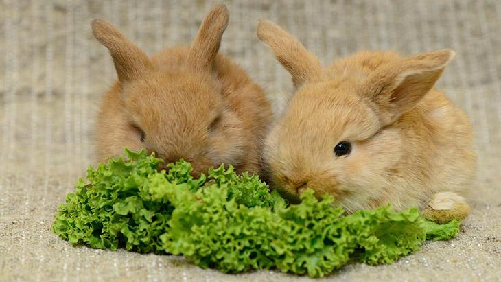 Чем кормить декоративного кролика - правила кормления