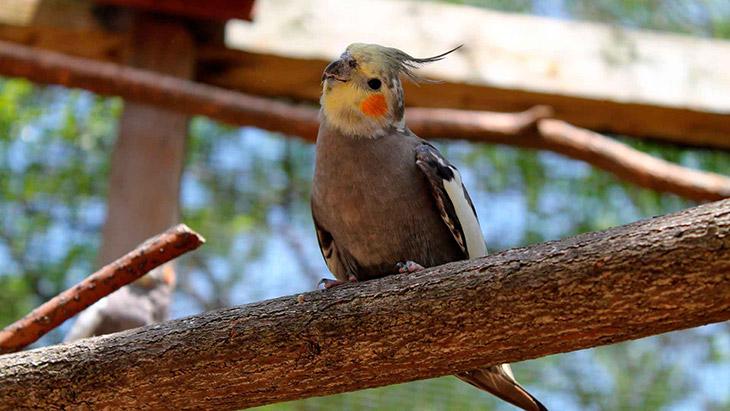 Corella-Parrot