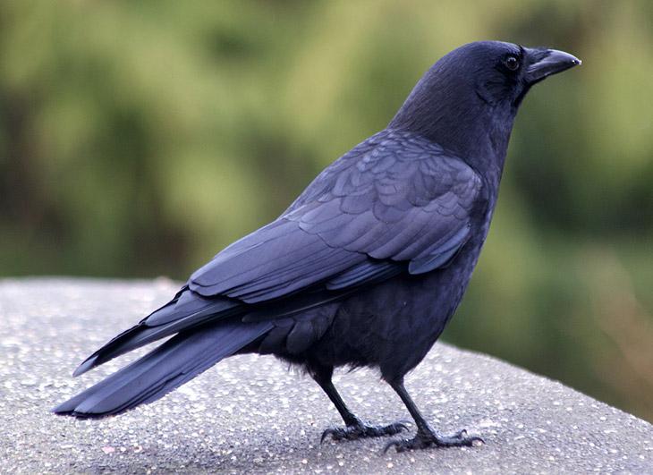 Corvus caurinus
