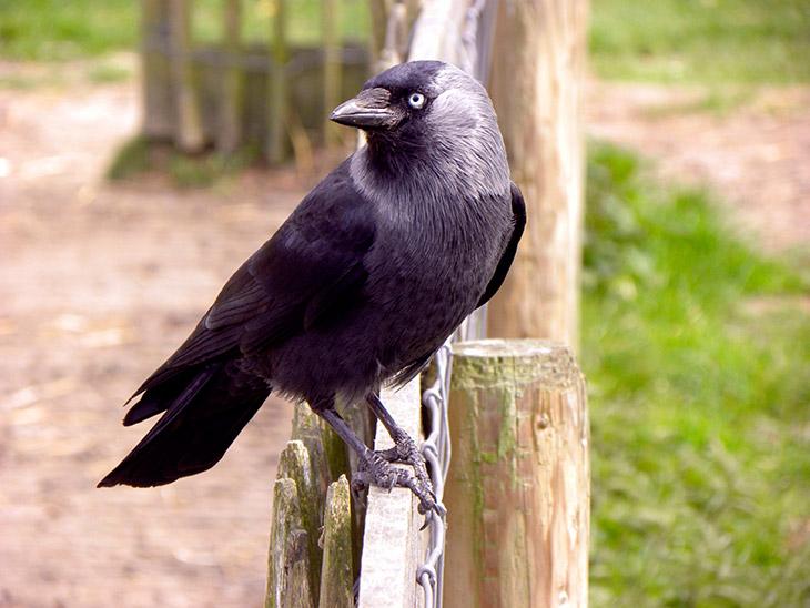 Можно ли галку считать перелетной птицей?