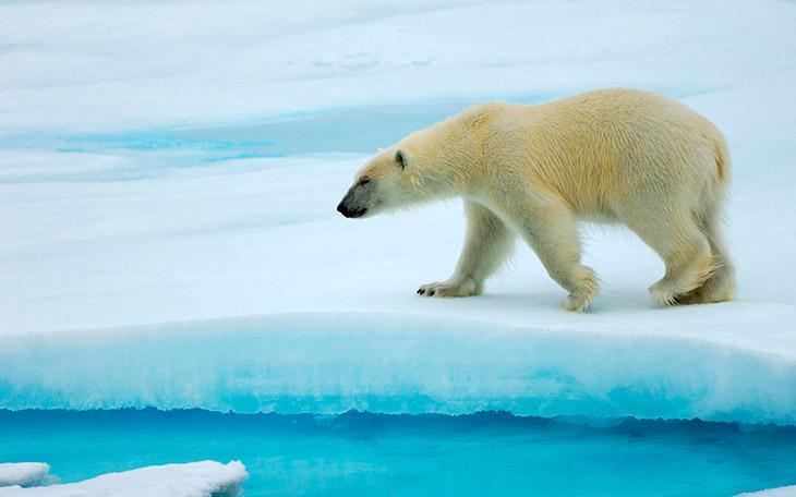 884 белый медведь википедия