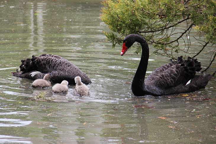 Топ - 20 самых интересных фактов о лебедях
