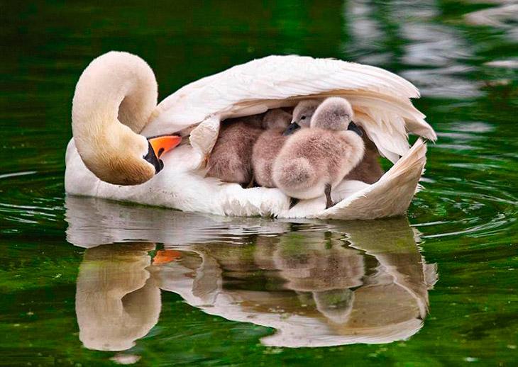 Топ - 20 фактов о Лебедях