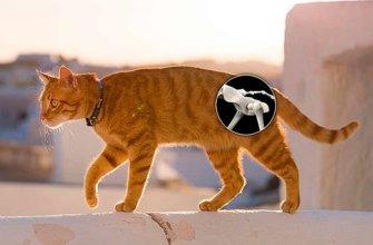 Дисплазия у кошек