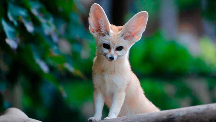 Внешний вид лисицы