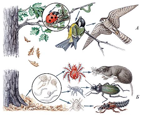 Особенности цепей питания в хвойных лесах