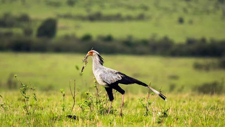 Распространенные виды птицы-секретаря