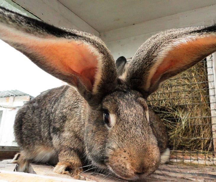 Уход и содержание кроликов гигантов