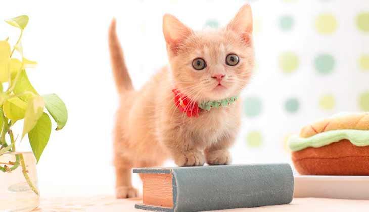 Топ - 10 интересных фактов о кошках манчкин