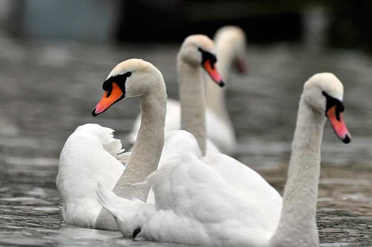 Рацион лебедей