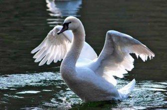 Описание лебедей